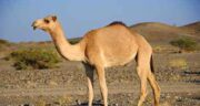 ادرار شتر برای ریه ؛ درمان بیماری های ریه با مصرف ادرار شتر