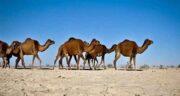 ادرار شتر در اسلام ؛ همه چیز درباره خواص و مضرات مصرف ادرار شتر