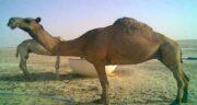 ادرار شتر در روایات ؛ خواص و فواید درمانی ادرار شتر