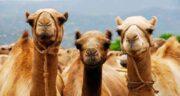 ادرار شتر در مفاتیح ؛ تاکید به مصرف ادرار شتر در مفاتیح