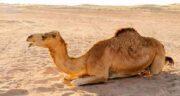 ادرار شتر و کرونا ؛ پیشگیری و درمان بیماری کرونا با مصرف ادرار شتر