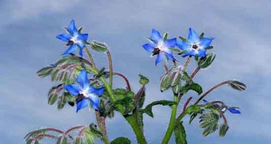 انواع گل گاوزبان ؛ آشنایی و معرفی گل گاوزبان و خواصی که دارند