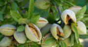 بادام درختی و کبد چرب ؛ خاصیت دارویی خوردن بادام درختی برای درمان بیماری کبد چرب