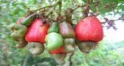 تصاویر درخت بادام هندی ؛ تصاویری جالب از درخت بادام هندی