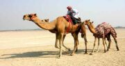 حکم شرعی ادرار شتر ؛ نوشیدن ادرار شتر در اسلام حلال است یا حرام؟