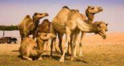 خواص ادرار شتر از نظر امام صادق ؛ خاصیت درمانی ادرار شتر در روایات امام صادق
