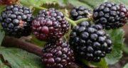 خواص توت سیاه شاتوت ؛ فواید شگفت انگیز خوردن توت سیاه شاتوت برای سلامتی
