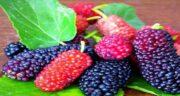 خواص توت سیاه و قرمز ؛ درمان بیماری ها با خوردن توت سیاه و قرمز