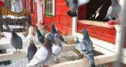 خواص نخودچی برای کبوتر ؛ بررسی ارزش غذایی استفاده از نخودچی برای غذای کبوتر