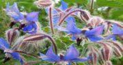 خواص گل گاوزبان برای اسپرم ؛ تقویت و افزایش تولید اسپرم با مصرف گل گاوزبان