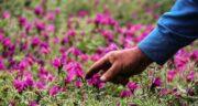 خواص گل گاوزبان برای بدن ؛ درمان بیماری ها با مصرف گل گاوزبان