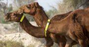 خوردن ادرار شتر در اسلام ؛ نوشیدن ادرار شتر برای درمان کدام بیماری مفید است