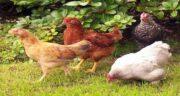 طبع خروس و مرغ محلی ؛ بررسی طبیعت گوشت خروس و مرغ محلی