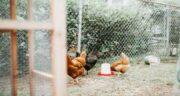 فواید ارزن برای مرغ ؛ پرورش مرغ با استفاده از ارزن