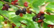 فواید توت سیاه درختی ؛ بهبود گردش خون در بدن با خوردن توت سیاه درختی