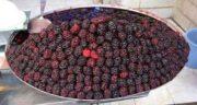 فواید و مضرات توت سیاه ؛ آشنایی با خواص درمانی و مضرات خوردن توت سیاه