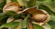 مضرات بادام درختی برای کبد چرب ؛ آیا بادام درختی برای بیماری  مضر است؟