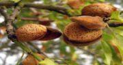 مضرات بادام درختی برای کلیه ؛ آیا خوردن بادام درختی برای بیماران کلیوی مضر است؟