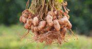 مضرات بادام زمینی برای کبد ؛ خوردن بادام زمینی چه ضرری برای کبد دارد