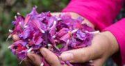 مضرات گل گاوزبان برای مردان ؛ مصرف گل گاوزبان چه ضرری برای سلامت آقایان دارد