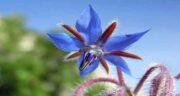 گل گاوزبان و فشار خون ؛ هشدارهایی درباره مثرف گل گاوزبان برای افراد مبتلا به فشار خون بالا