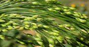 گیاه ارزن ؛ آشنایی کامل با گیاه ارزن و خواص درمانی آن