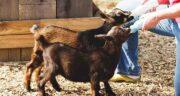 آغوز گوساله ؛ ایا اغوز گوساله را میتوان جایگزین اغوز مادر کرد برای نوزادان