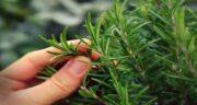 اکلیل کوهی چیست ؛ ایا گیاه اکلیل کوهی همان گیاه رزماری است