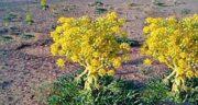آنغوزه برای بواسیر ؛ درمان بیماری بواسیر با خوردن گیاه انغوزه شیرین