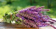 عوارض مریم گلی ؛ عوارض مصرف مریم گلی در از نظر طب سنتی