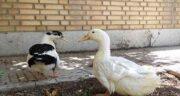 گوشت اردک چه طبعی دارد ؛ مصرف گوشت اردک چه طبعی دارد