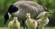 گوشت غاز و اردک ؛ خاصیت درمانی گوشت غاز و اردک برای دیابت
