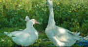 گوشت غاز یا اردک ؛ فواید مصرف گوشت غاز یا اردک برای سرماخوردگی