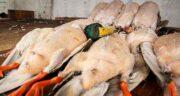گوشت اردک در اسلام ؛ فواید مصرف گوشت اردک در طب اسلامی