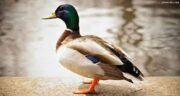 گوشت اردک و فشار خون ؛ ایا گوشت اردک فشار خون را کنترل میکند