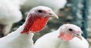 حساسیت به گوشت بوقلمون ؛ آلرژی به گوشت بوقلمون در بارداری