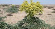 خواص آنغوزه داروی گیاهی ؛ ایا گیاه انغوزه درمان دارویی دارد یا نه