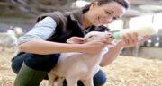 خواص آغوز گوسفندی برای انسان ؛ فواید مصرف اغوز گوسفندی برای بدن