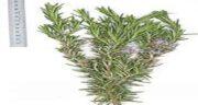 خواص اکلیل کوهی برای مو ؛ مصرف اکلیل کوهی برای تقویت موی سر