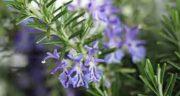 خواص درمانی اکلیل کوهی ؛ ایا گیاه اکلیل کوهی خاصیت درمانی دارد