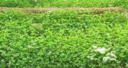 خواص گل یونجه ؛ فواید گیاه یونجه برای چاقی صورت و بدن چیست