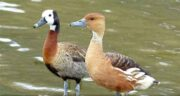 خواص گوشت اردک کله سبز ؛ فواید گوشت اردک کله سبز برای اطفال