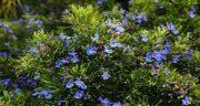 مضرات گیاه اکلیل کوهی ؛ عوارض گیاه اکلیل کوهی برای یبوست