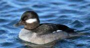 مضرات گوشت اردک ؛ خواص و عوارض گوشت اردک برای بدن انسان