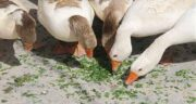 مضرات خوردن گوشت اردک ؛ عوارض مصرف گوشت اردک برای بارداران