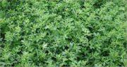طرز استفاده از بذر یونجه ؛ دستور استفاده از بذر یونجه در گلدان