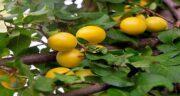 آلو زرد و دیابت ؛ تنظیم سطح قند خون با مصرف آلو زرد