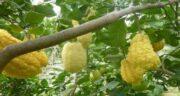 بالنگ چیست ؛ آشنایی کامل با میوه بالنگ و خواصی که دارد