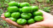 خواص درمانی آلوچه سبز ؛ چربی سوزی و سلامت دهان با خوردن آلوچه سبز