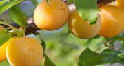 خواص درمانی آلو قطره طلا ؛ خوردن میوه آلو قطره طلا چه فوایدی برای بدن دارد